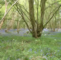 Reydon Wood in bluebell time