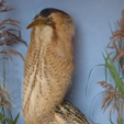 Stuffed Bittern  in the museum collection