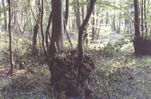 Coppice stools of hornbeam in Reydon Wood